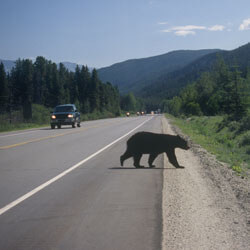 A black bear crossing the road with traffic driving by