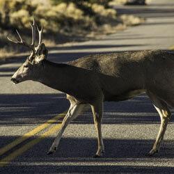 A Deer Crossing The Road