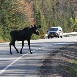 A moose crossing the road while a car waits