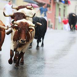 Bulls running through the streets.