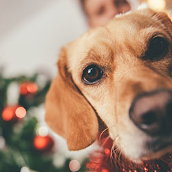 A mischevious dog with it's owner and Christmas tree in the background.
